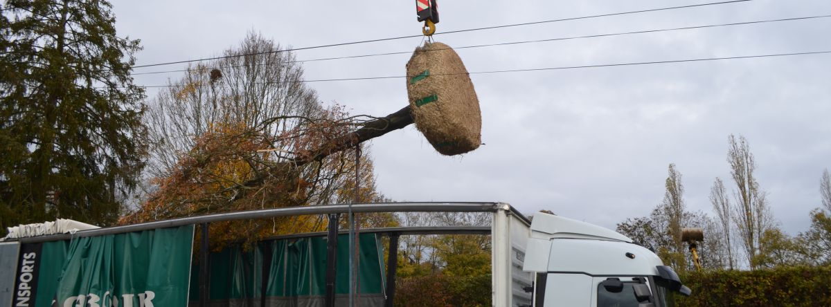 Plantation d'arbres gros sujets