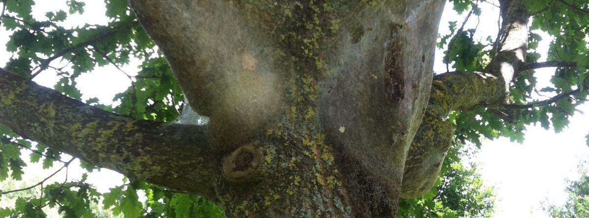Traitement contre les chenilles processionnaires du Pin et du Chêne