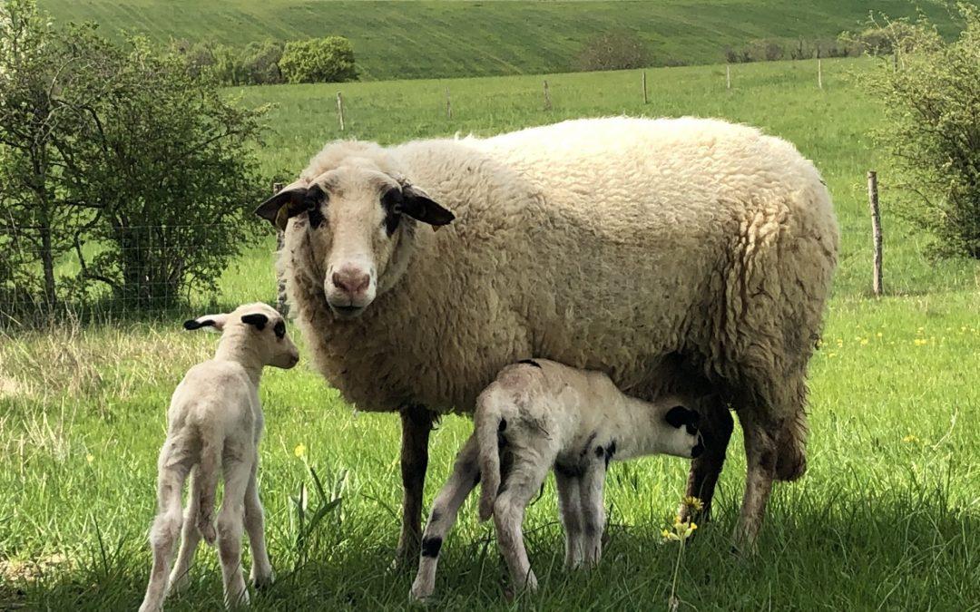 Naissances de nos premiers agneaux!
